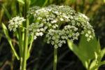 Breitblaettriger Merk Blueten Dolde weiss Sium latifolium 04