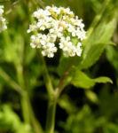 Breitblaettriger Merk Blueten Dolde weiss Sium latifolium 08
