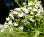 Breitblaettriger Merk Blueten Dolde weiss Sium latifolium 10