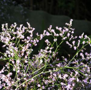 Breitblaettriger Strandflieder Bluete hell pink Limonium latifolium 02