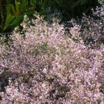 Breitblaettriger Strandflieder Bluete hell pink Limonium latifolium 03