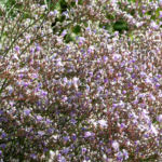 Bild: Breitblättriger Strandflieder Blüte hell pink - Limonium latifolium