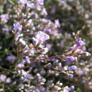 Breitblaettriger Strandflieder Bluete hell pink Limonium latifolium 06