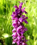 Breitblaettriges Knabenkraut Bluete Kerze lila Dactylorhiza majalis 04