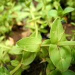 Breitblaettriges Vergissmeinnicht Blatt gruen Myosotis latifolia 01