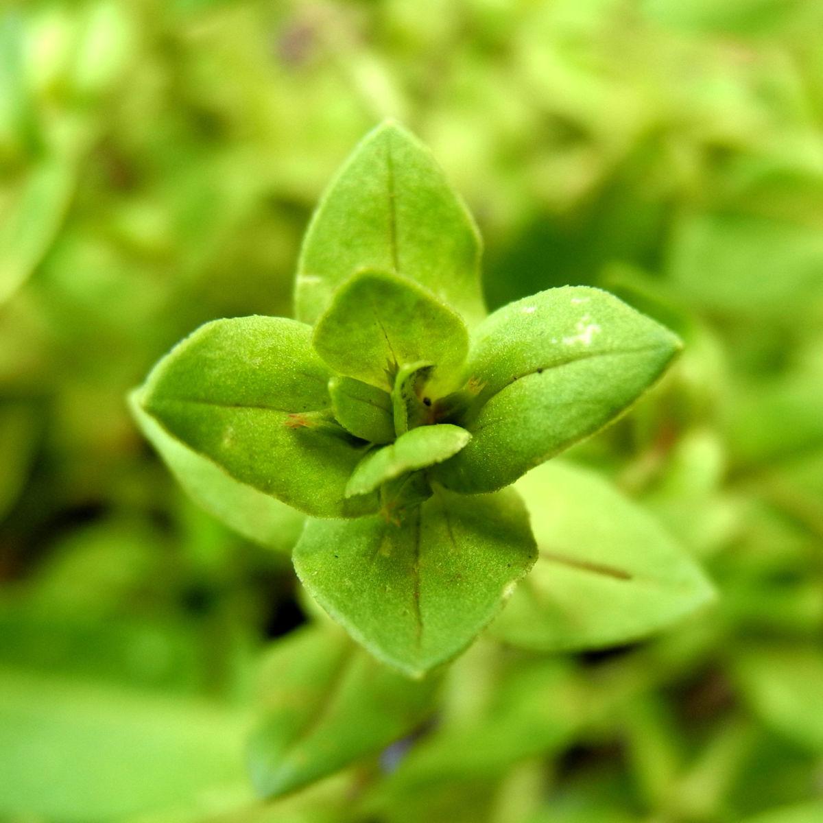 Breitblaettriges Vergissmeinnicht Blatt gruen Myosotis latifolia