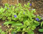 Breitblaettriges Vergissmeinnicht Bluete blau Myosotis latifolia 01