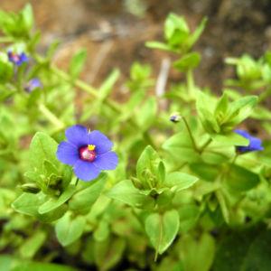 Breitblaettriges Vergissmeinnicht Bluete blau Myosotis latifolia 02