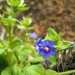 Breitblaettriges Vergissmeinnicht Bluete blau Myosotis latifolia 04