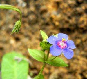 Breitblaettriges Vergissmeinnicht Bluete blau Myosotis latifolia 05