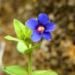 Zurück zum kompletten Bilderset Breitblättriges Vergissmeinnicht Blüte blau gelb Myosotis latifolia