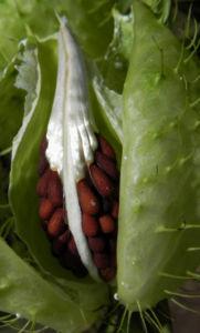 Breitlaubige Seidenpflanze Frucht gruen Samen braun Gomphocarpus physocarpus 15