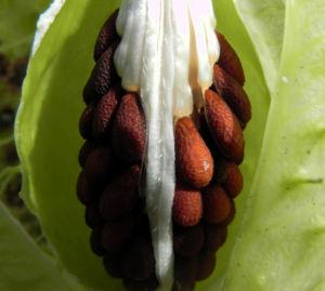 Breitlaubige Seidenpflanze Frucht gruen Samen braun Gomphocarpus physocarpus 16