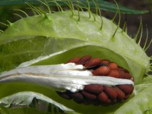 Breitlaubige Seidenpflanze Frucht gruen Samen braun Gomphocarpus physocarpus 17