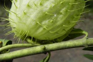 Breitlaubige Seidenpflanze Frucht gruen Gomphocarpus physocarpus 09