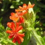 Bild: Brennende Liebe Blüte rot Silene chalcenonia