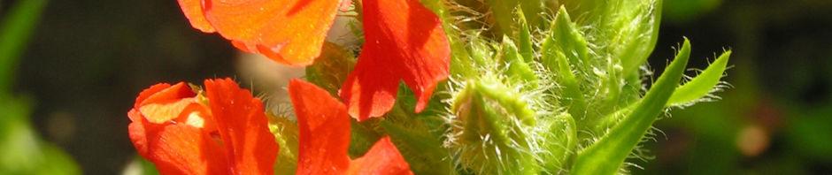 brennende-liebe-bluete-rot-silene-chalcenonia