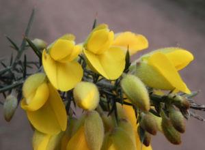 Bristly Bush Pea Strauch Bluete gelb Pultenaea acerosa 06