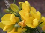 Bristly Bush Pea Strauch Bluete gelb Pultenaea acerosa 07