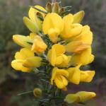 Bristly Bush Pea Strauch Bluete gelb Pultenaea acerosa 08
