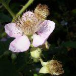 Brombeere Bluete Rubus fruticosus 01