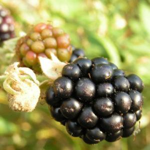 Brombeere Frucht rot schwarz Rubus fruticosus 01