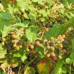 Brombeere Frucht rot schwarz Rubus fruticosus 02