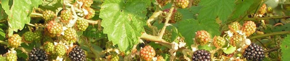 Anklicken um das ganze Bild zu sehen Brombeere Frucht rot schwarz Rubus spectabilis
