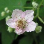 Brombeere wild Bluete Blatt Rubus fruticosus 01