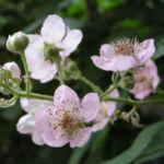 Brombeere wild Bluete Blatt Rubus fruticosus 03
