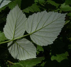 Brombeere wild Bluete Blatt Rubus fruticosus 04