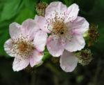 Brombeere wild Bluete Blatt Rubus fruticosus 05