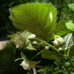 Brombeere wild Bluete Blatt Rubus fruticosus 06