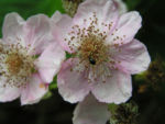 Brombeere wild Bluete Blatt Rubus fruticosus 08