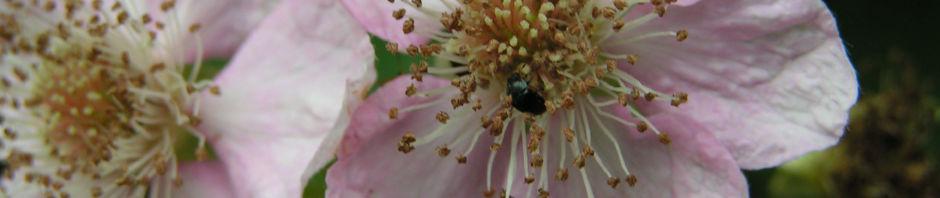 brombeere-wild-bluete-hellrosa-blatt-gruen-rubus-fruticosus