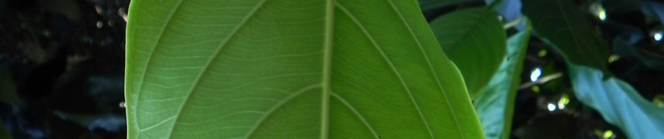brotfruchtbaum-frucht-blatt-gruen-artocarpus-altilis
