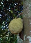 Brotfruchtbaum Frucht gruen Artocarpus altilis 01