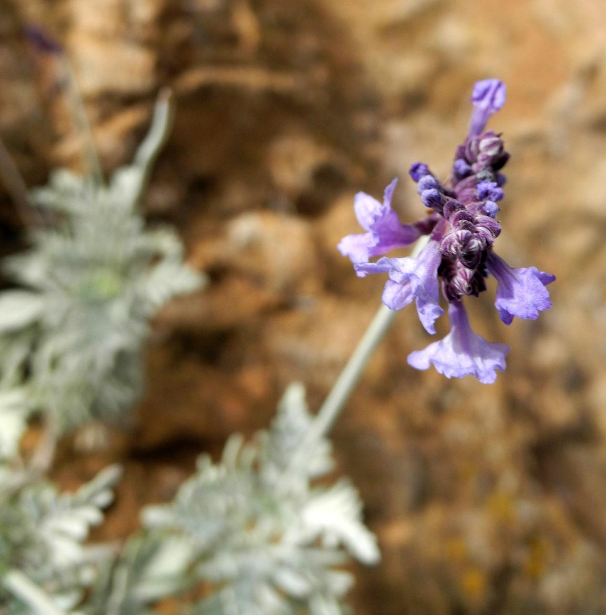 Buchs Lavendel Bluete lila Lavandula buchii