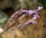 Buchs Lavendel Bluete lila Lavandula buchii 13