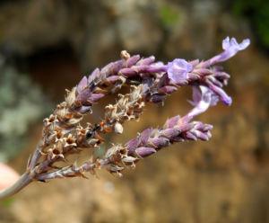 Image: Buchs Lavendel Bluete lila Lavandula buchii