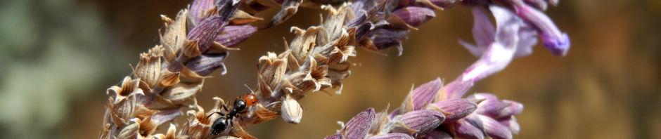buchs-lavendel-bluete-lila-blatt-silber-gruen-lavandula-buchii