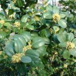 Buchsbaum Bluete Buxus sempervirens 10