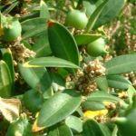 Buchsbaum Frucht Buxus sempervirens 03