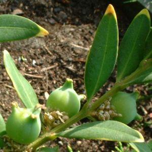 Buchsbaum Frucht Buxus sempervirens 04