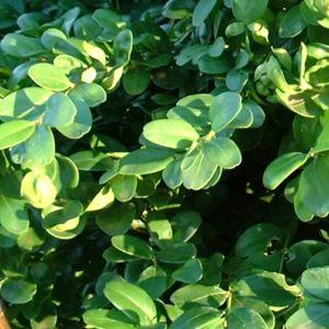 Buchsbaum Buxus sempervirens 01