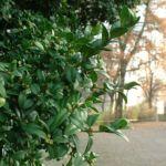 Buchsbaum Buxus sempervirens 02