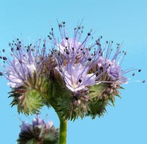 Bueschelschoen Bienenfreund Bluete hellblau Phacelia tanacetifolia 10