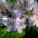 Bueschelschoen Bienenfreund Bluete hellblau Phacelia tanacetifolia 14