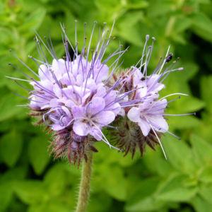 Bueschelschoen Bluete hellblau Phacelia tanacetifolia 01