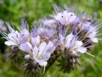 Bueschelschoen Bluete hellblau Phacelia tanacetifolia 02